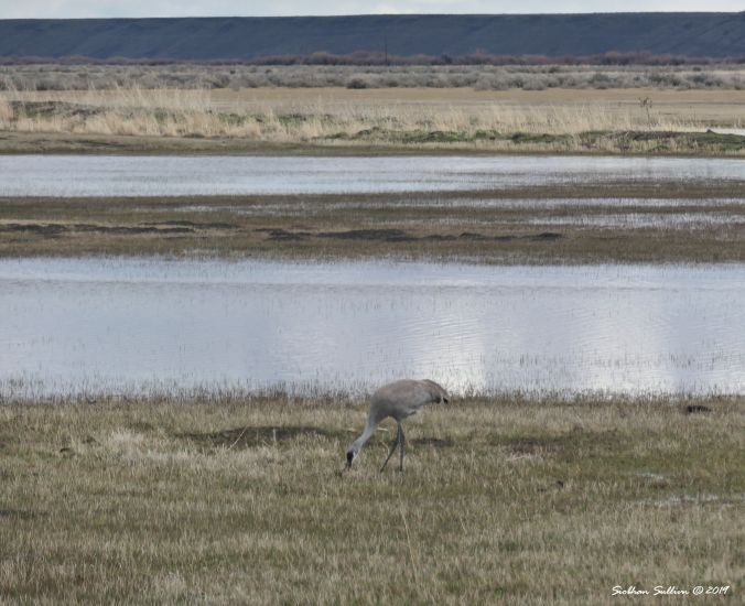 Sandhill crane, Harney County, Oregon 12April2019