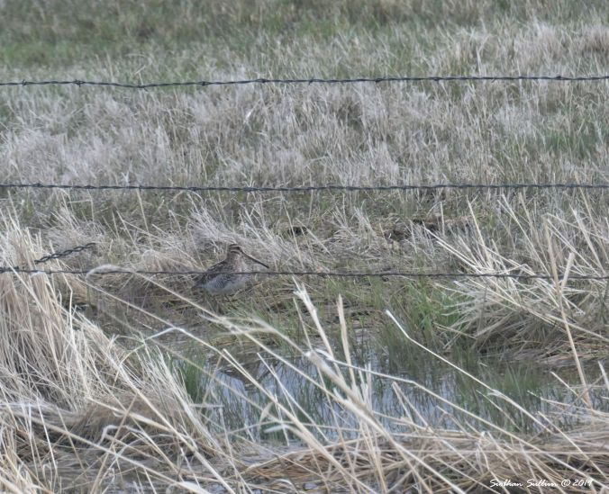 Wilson's snipe, Harney County, Oregon 12April2019