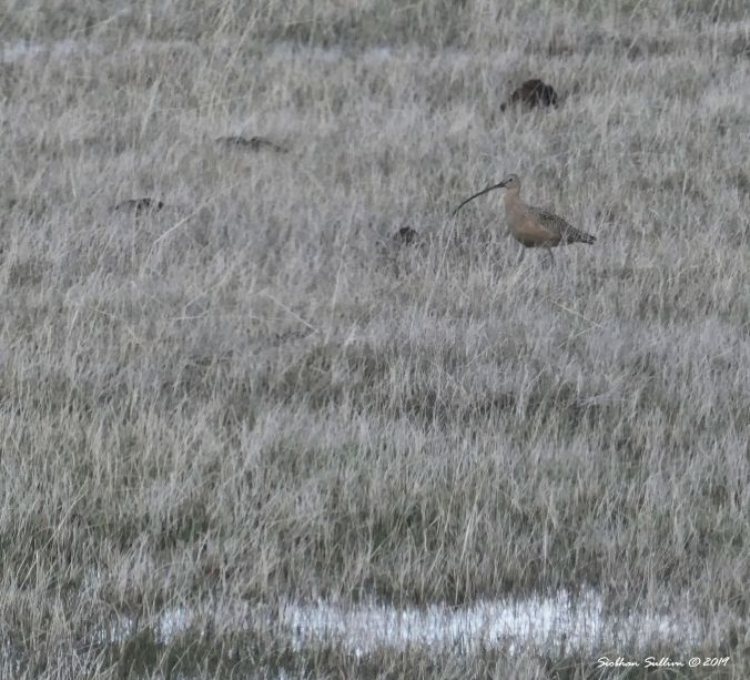 Birds of the shore, Long-billed curlew, Harney County, Oregon 12April2019