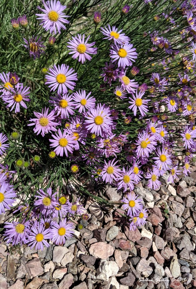 Aster flowers in Bend, Oregon 4July2019