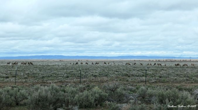 Herd of mule deer, Harney County, OR 13April2019