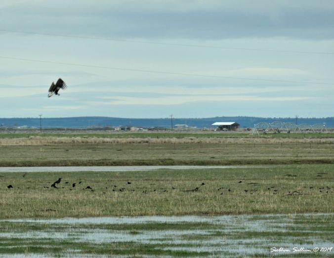 Bald eagles in Harney County, Oregon 13April2019