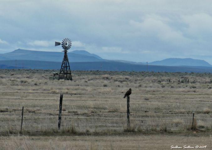 Raptors field trip, Swainson's hawk, Harney County, Oregon 13April2019