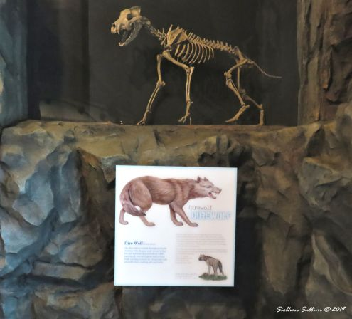 Dire wolf display, The Dalles, Oregon 16October2017