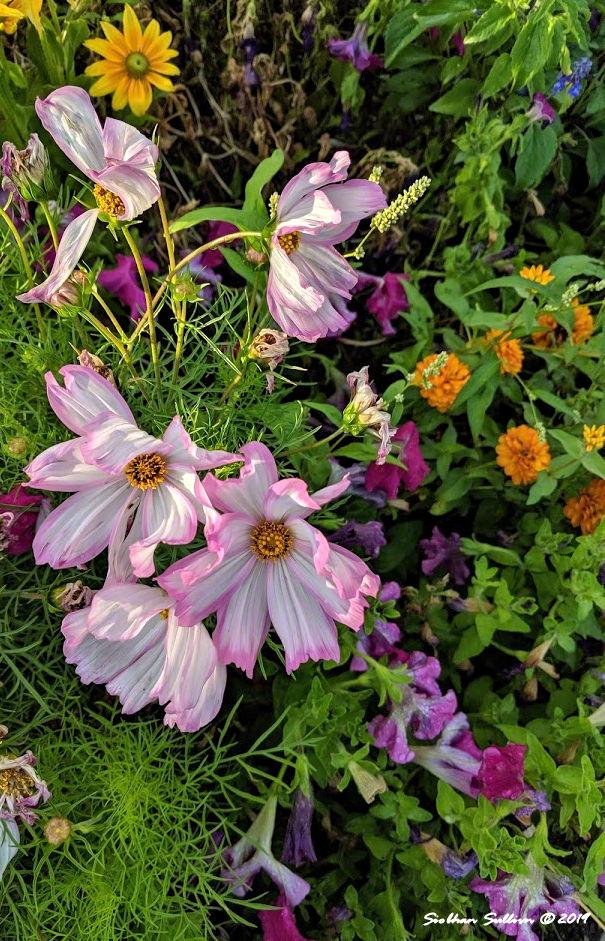 A dawn bouquet in Bend, Oregon 9August2019