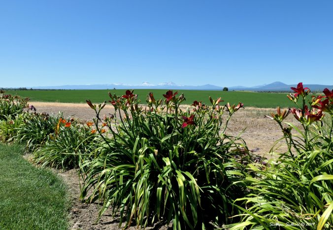 old, new, borrowed, blue Daylilies with the Sisters in the background, Oregon 20July2019 20July2019