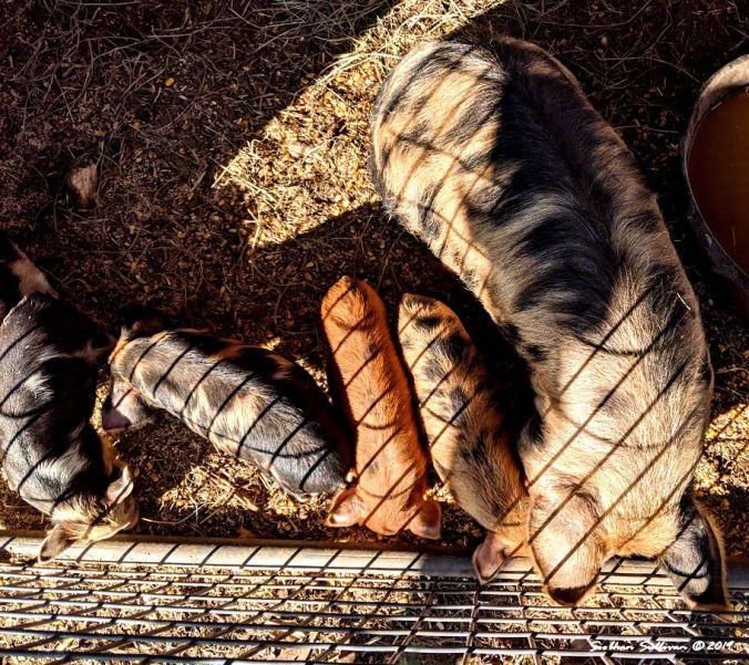 Pig and piglets. Hood River, Oregon