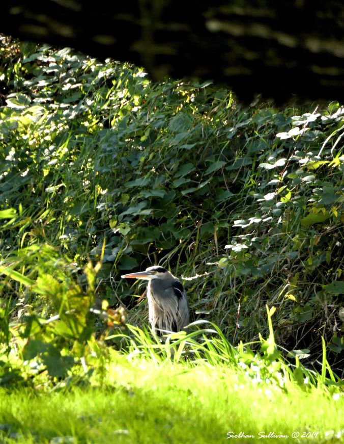 Great blue heron, Troutdale, Oregon