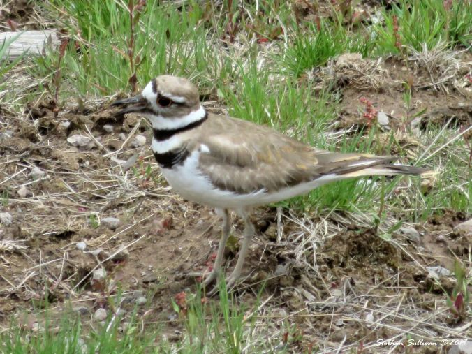 furry & feathered, killdeer at Yellowstone National Park