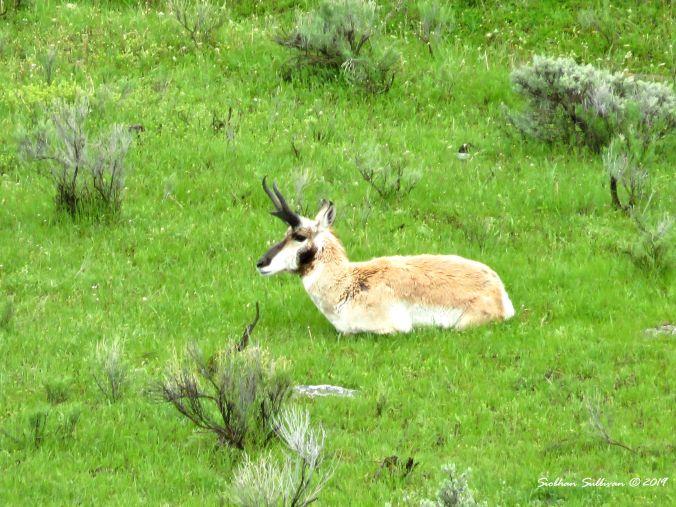 Pronghorn buck reclining, Yellowstone National Park