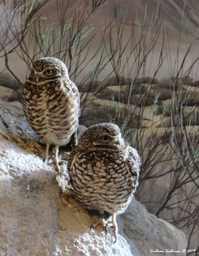 With two you can share wisdom. Burrowing owls at High Desert Museum, Bend, Oregon 2016