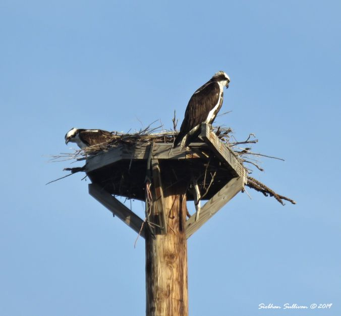 Ospreys nesting along the Deschutes River, Bend, Oregon 2018