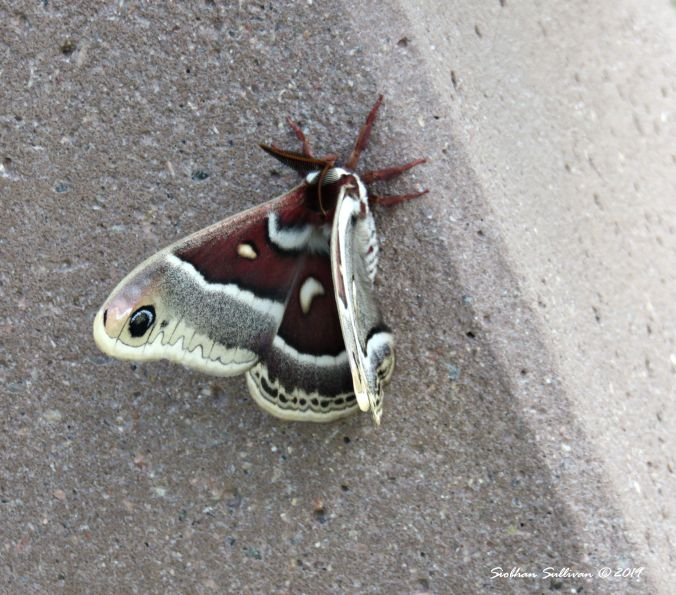 A marvelous moth in Nevada May2017