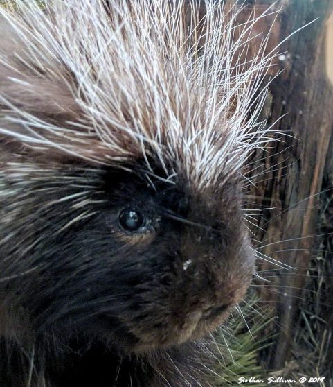 A porcupine's pointy portrait February 2019