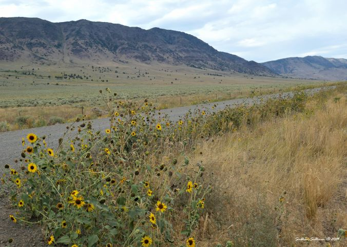 Sunflowers & stagecoaches at Steens Mountain, Oregon August 2019