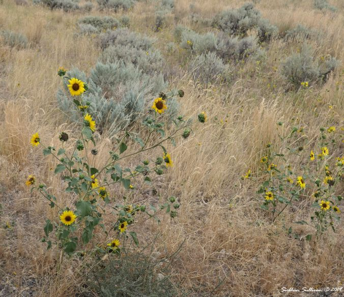 Sunflowers at Steens Mountain, Oregon August 2019