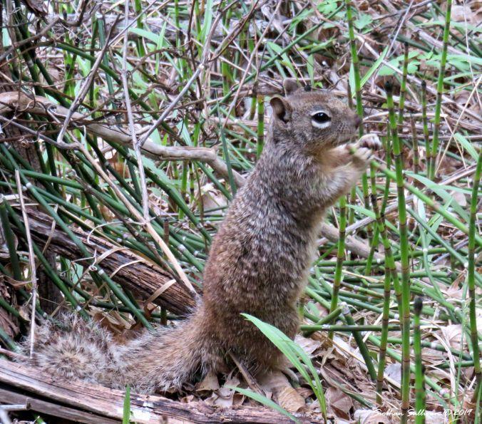 Rock squirrel in Zion National Park, UT 2017