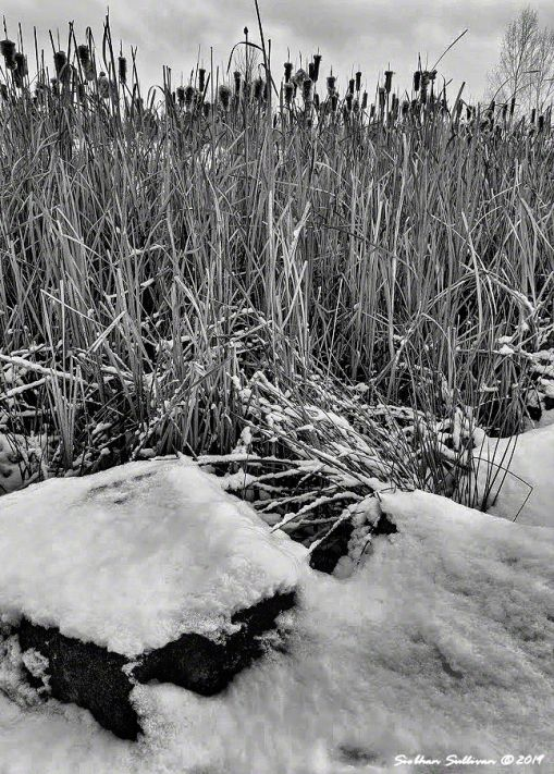 Cattails in winter snow, Bend, Oregon 13 January 2020