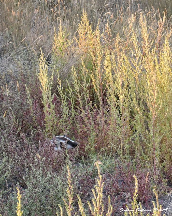 Peekaboo view of American badger August 2019