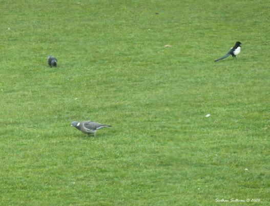 Songbirds in Malahide, Ireland 6 March 2020