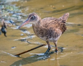 Virginia rail by Becky Matsubara