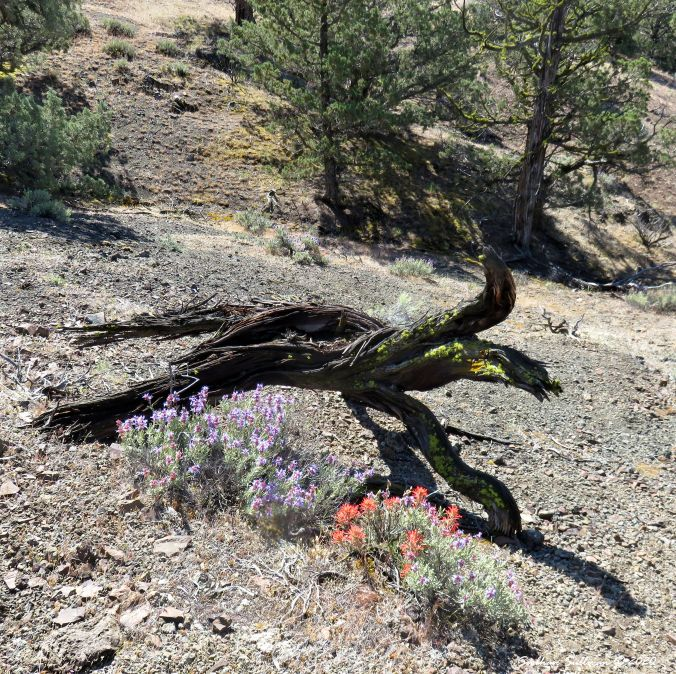 Purple sage and Indian paintbrush  at Gray Butte, Oregon May 2016