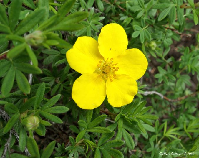Cinquefoil in bloom, Bend, Oregon 14June2020