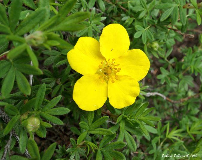 Cinquefoil in bloom, Bend, Oregon 14June2020