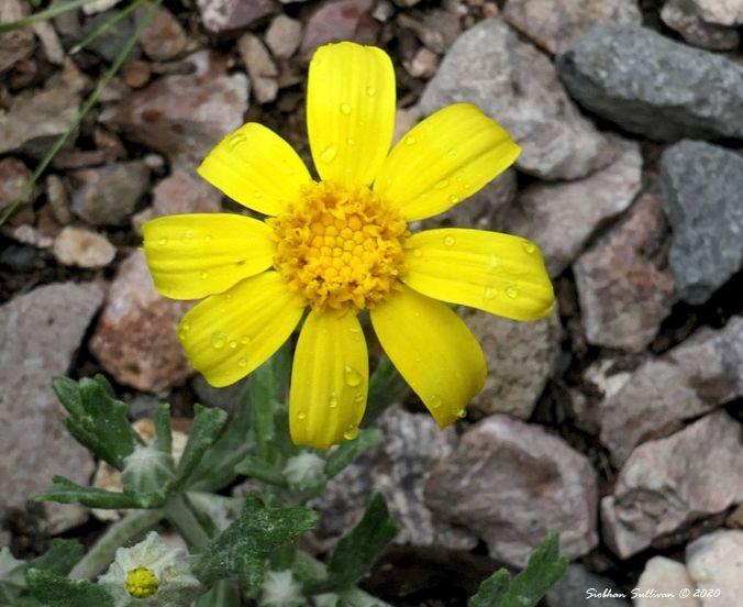 Oregon sunshine with petals radiating, Bend, Oregon 14June2020