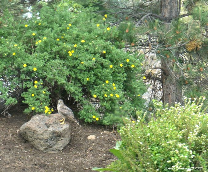 Sharp-shinned hawk perched on rock in Bend, Oregon June2020
