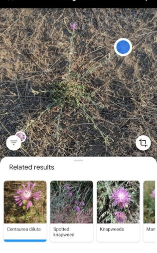 Google Lens spotted knapweed near Bend, Oregon July 2020