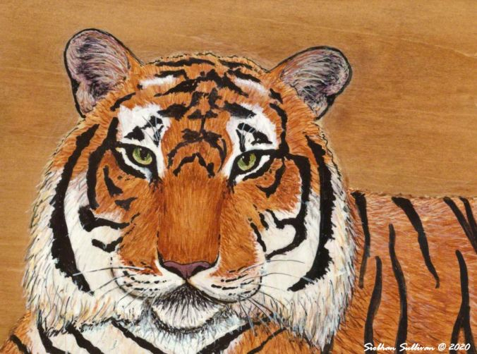 Tiger painting in acrylics by Siobhan Sullivan July 2020