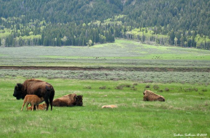 Yellowstone in Spring, Bison & calves in Lamar Valley June 2015