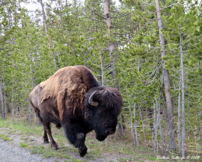 Bison near Norris Geyser Basin June 2015