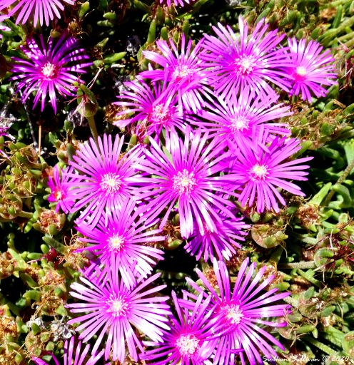 Ice plants up close near Bend, Oregon July 2020