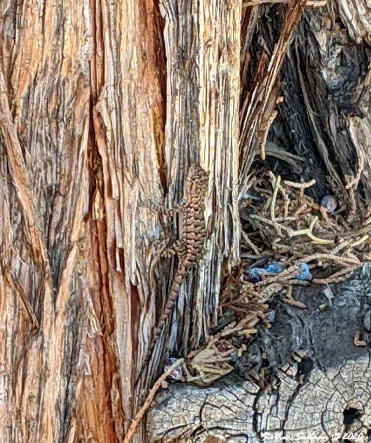 Western fence lizard on Western juniper July2020