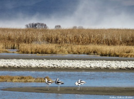 Avocets near Summer Lake, Oregon November 2017