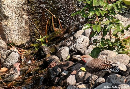 Backyard birding adventures - house finch & northern flicker