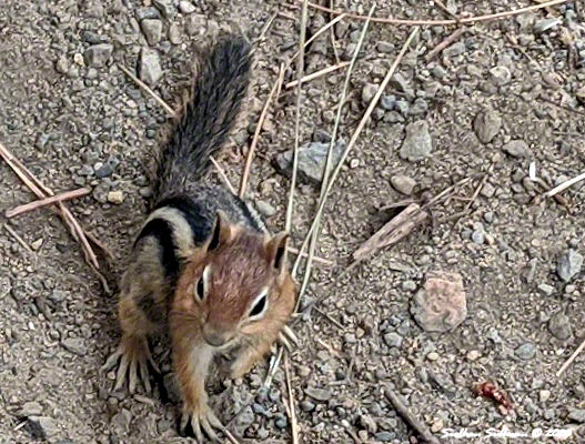 Golden-mantled ground squirrel October 2020
