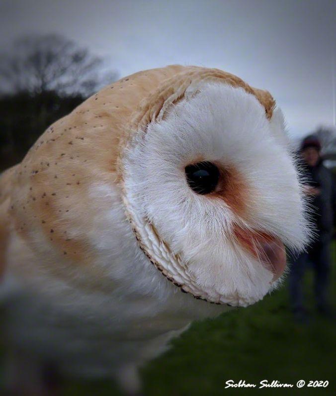 Owls in the mist Barn owl