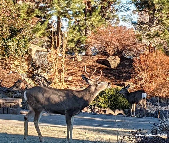Mule deer near Bend, Oregon November 2020