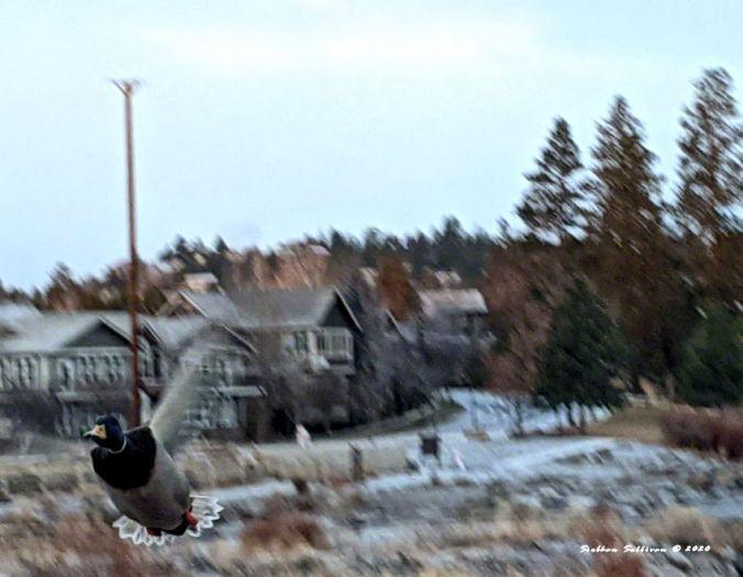 Mallard flying at me! December 2020