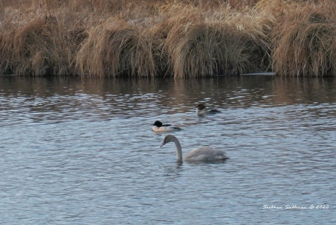 Trumpeter swan % common mergansers December 2020