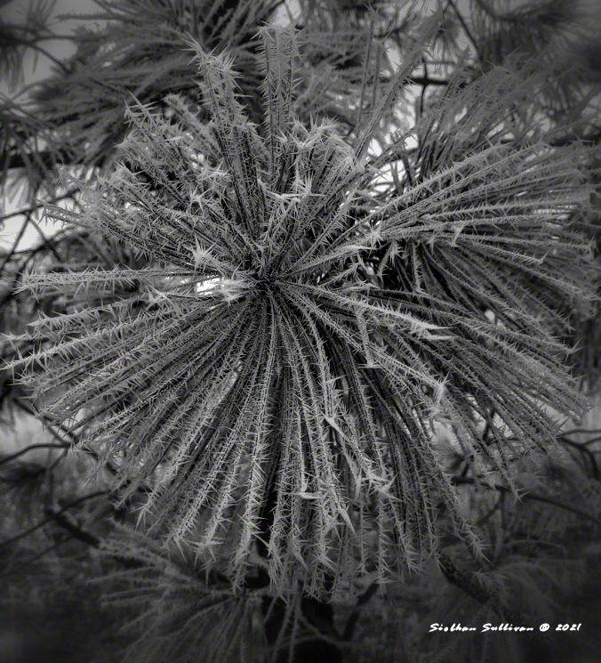 Frosty ponderosa pine