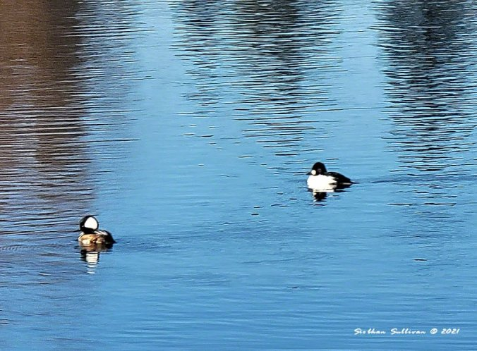 Water fowl reflections - hooded mergansers