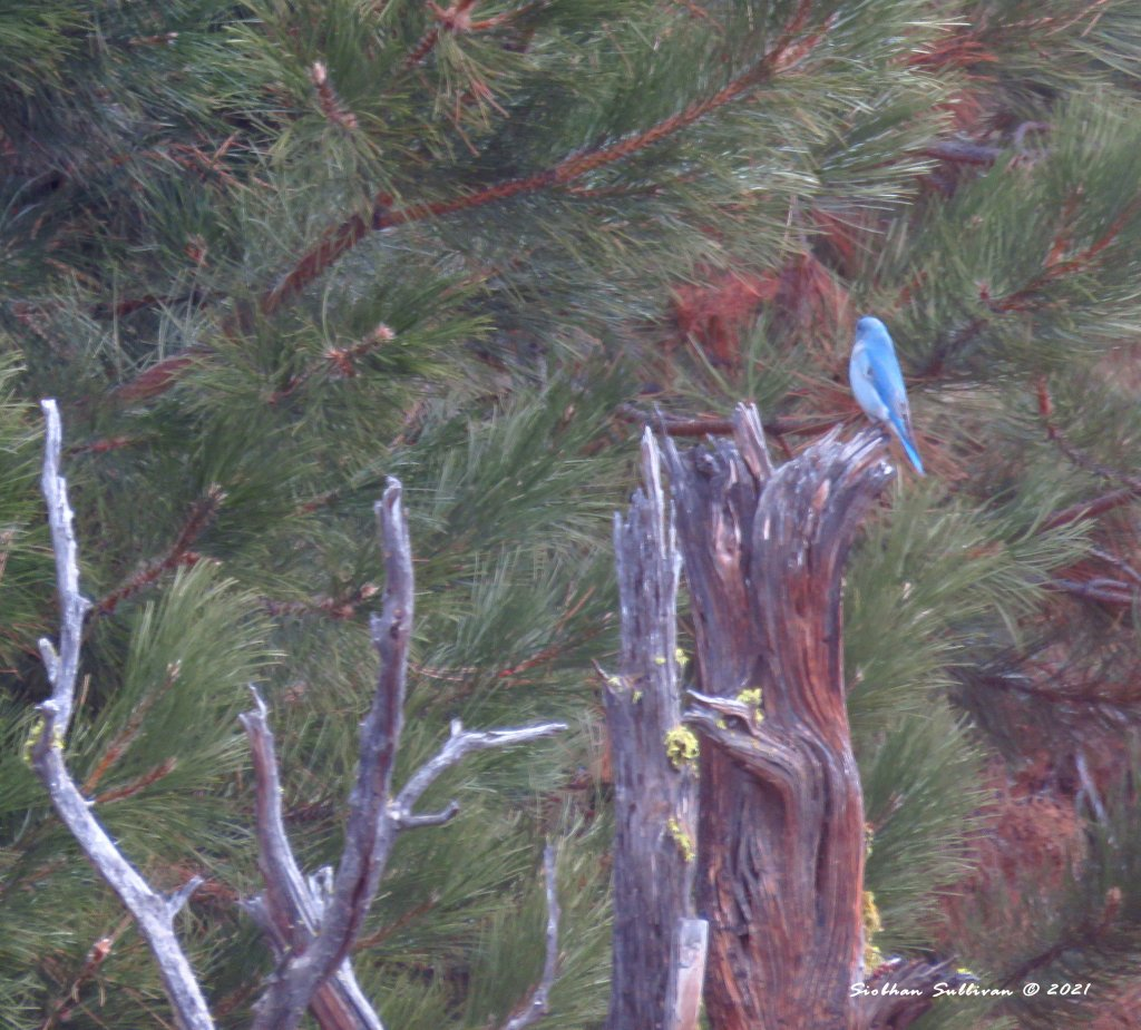 Elusive birds - mountain bluebird