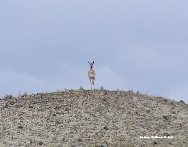 Lone doe at Yellowstone