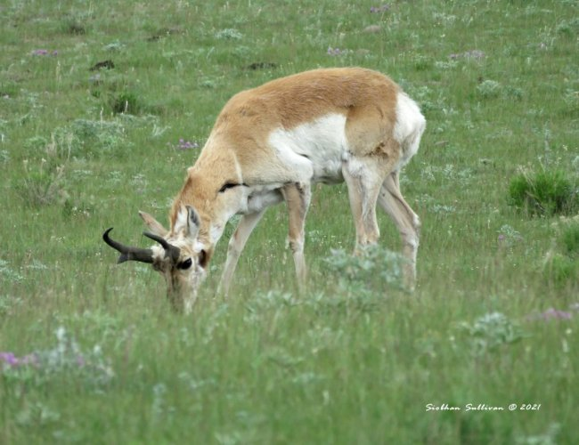 Grazing pronghorn buck in Yellowstone
