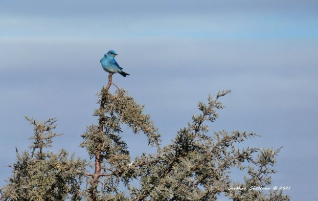 Spring birds - Mountain bluebird near Bend, Oregon