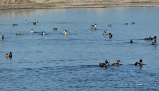 Spring birds Pintails & mallards at Malheur NWR